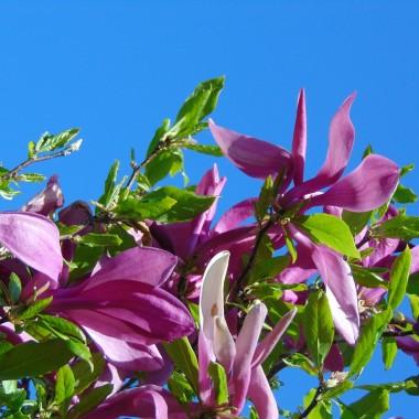 ..................i magnolie................
