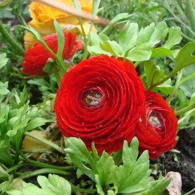 Wiosną kwiaty w moim ogrodzie rosną...