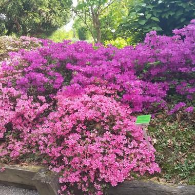 Zakwitly rozaneczniki i azalie w arboretum