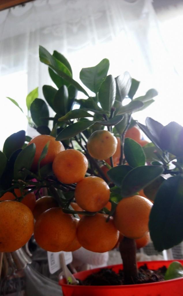 Rośliny, Czerwcowe róże ................. - ................i mandarynka..............w domu.............