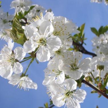 w kraju kwitnącej wiśni