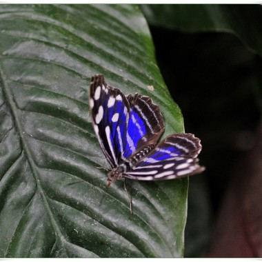 Myscelia cyaniris (Blue Wing&#x3B;Niebieskoskrzydły).