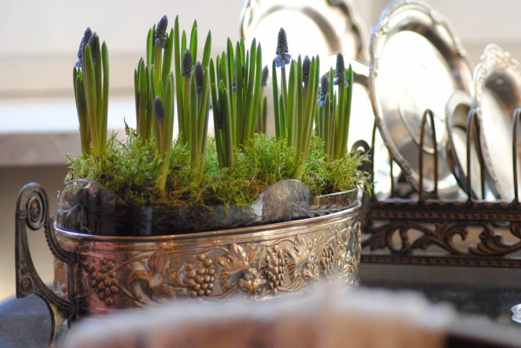 Rośliny, Styczeń .... - Lubię szafirki :)