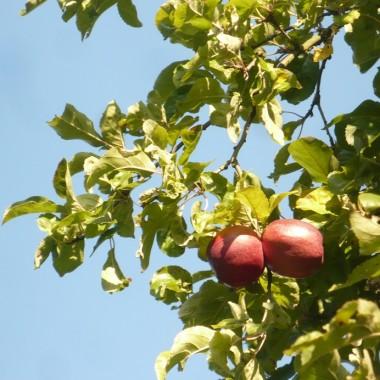 ...................i jabłka na jabłoni................
