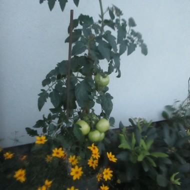 Pomidory w doniczkach pod domem wśród kwiatów