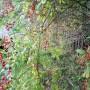 Rośliny, Wrześniowe fotki.................... - .................i róża..............