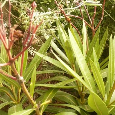 ................i drugi oleander ................wciąż ma pojedyncze kwiaty.................