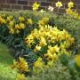Rośliny, Przywolywanie wiosny :) - Zonkile :)