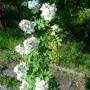 Rośliny, Czerwcowe róże ................. - ................i róża...................uwielbiają ją pszczółki..............
