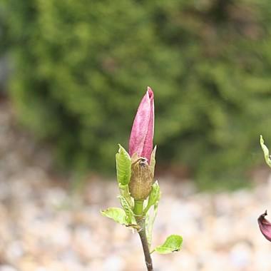 magnolia (jeszcze w pączkach)