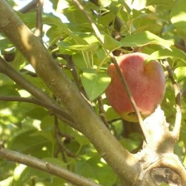 ....................i jabłuszka w sadzie............