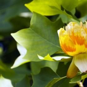 Tulipanowiec – jedno z ciekawszych drzew ozdobnych w naszych ogrodach