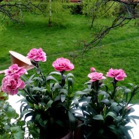 Balkonowe kwiatuszki c.d