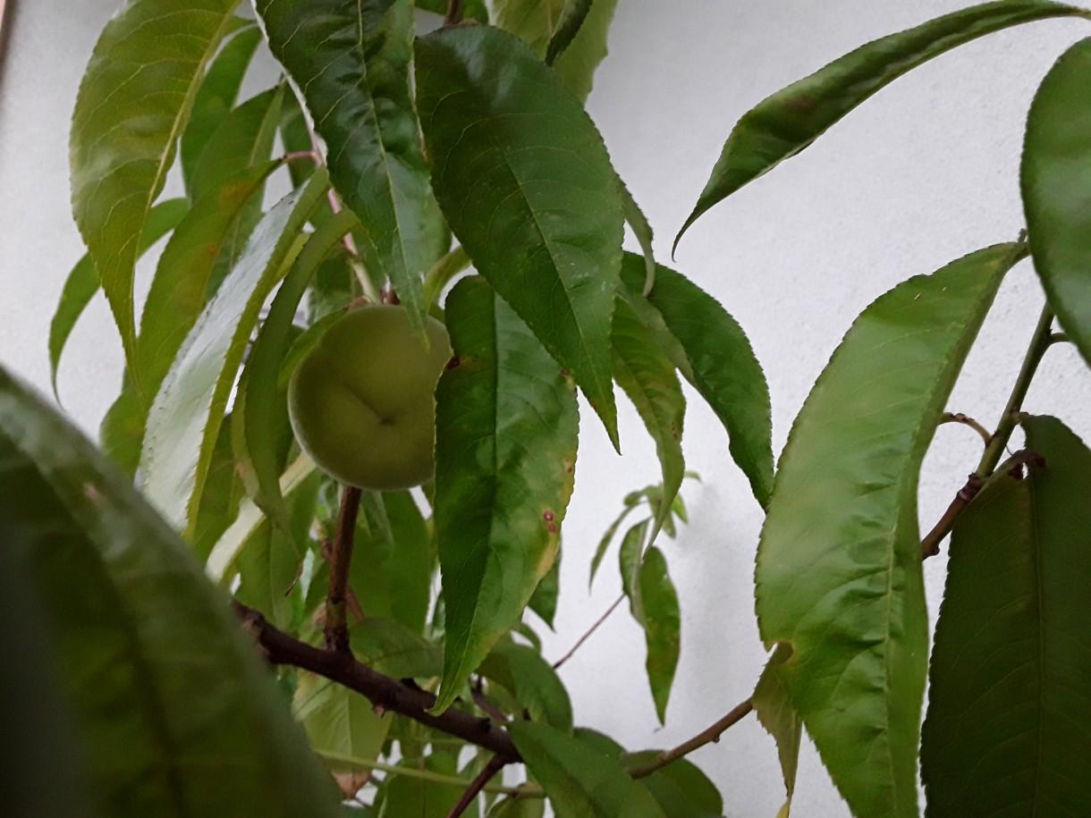 Rośliny, Rosliny - Na balkonie tez mozna miec brzoskwinie.