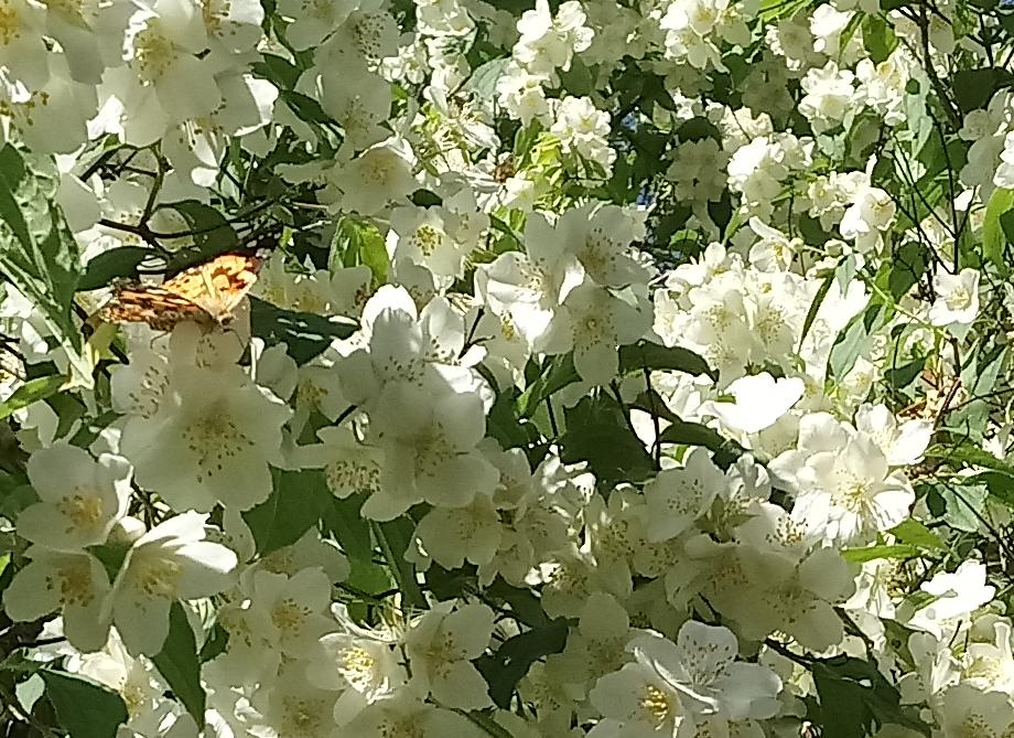 Rośliny, Czerwcowe róże ................. - ................i jaśmin ..............i motyle...............