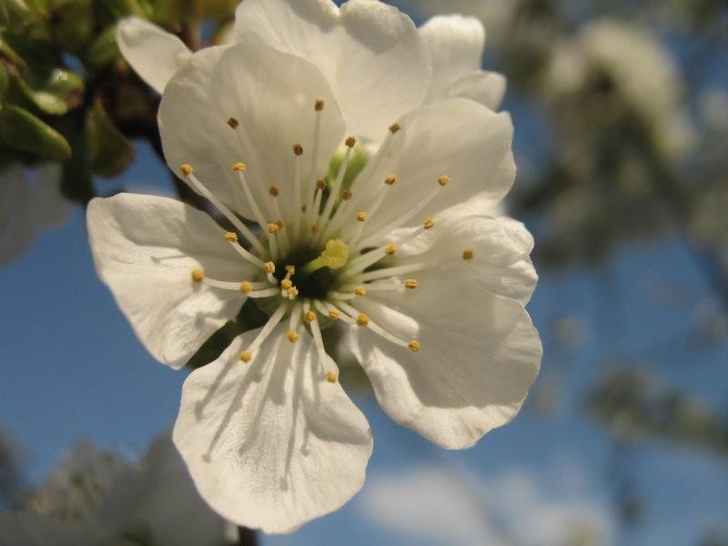 Rośliny, ogród 2 - kwiat jabłoni jak na dłoni
