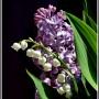 Rośliny, Wystarczy.....że rozkwitną konwalie....