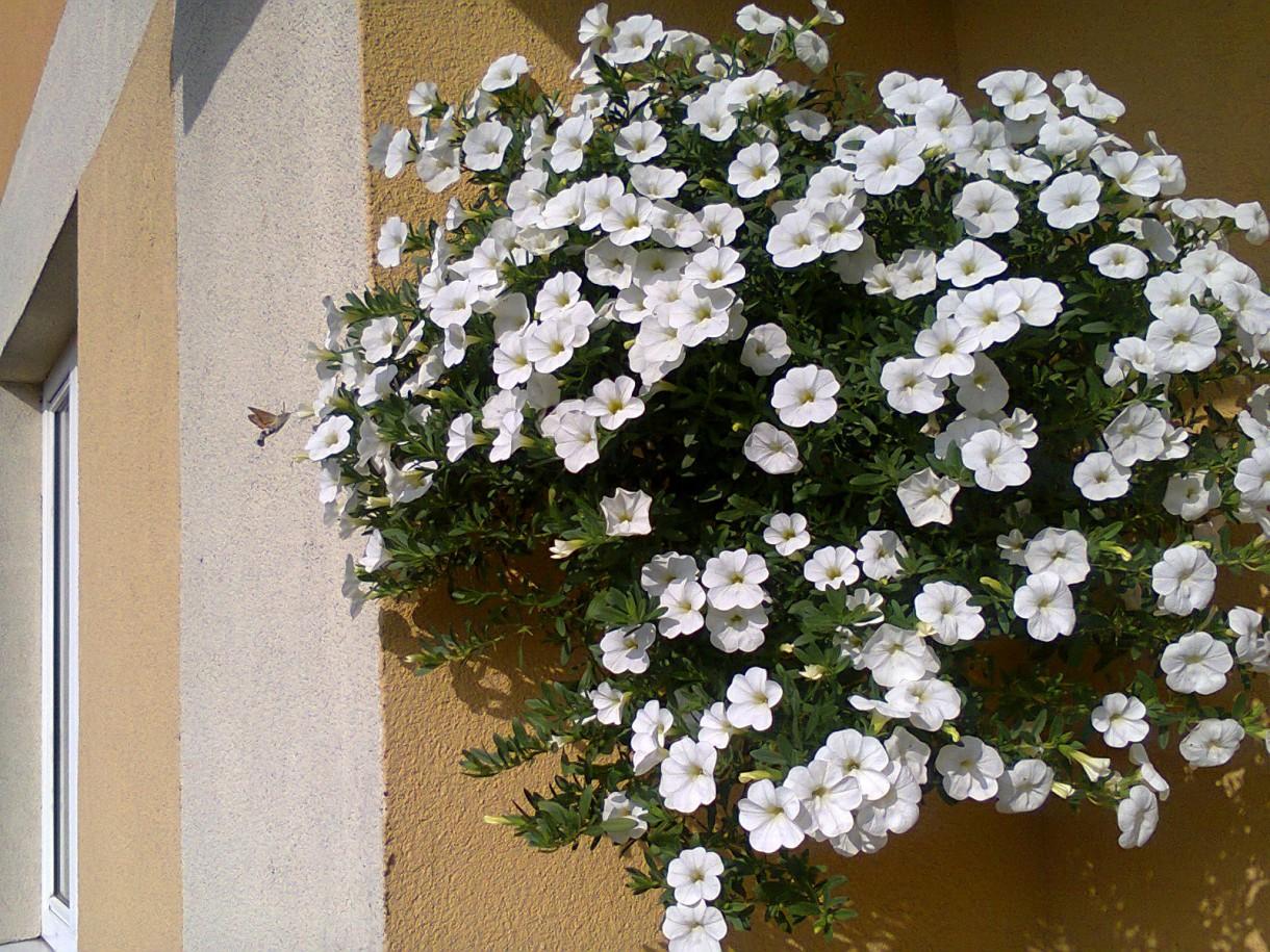 Pozostałe, balkon - To malutkie stworzonko, które przyleciało do białych kwiatków to polski koliber czyli furczak (fruczak) gołąbek.