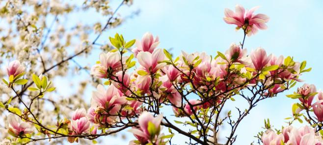 Co robić, gdy magnolia nie kwitnie?