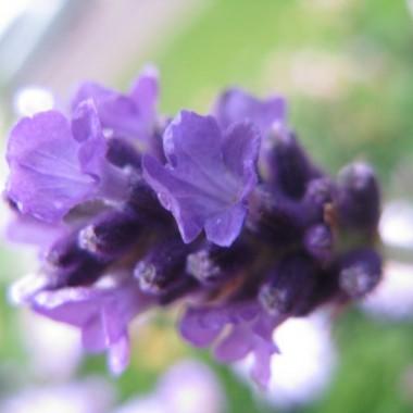 niestety ale tylko w jednej skrzyneczce----i tak mnie ten kolorek zauroczyl ze w nastepnym roku  caly balkon to bedzie jeden wielki fiolet