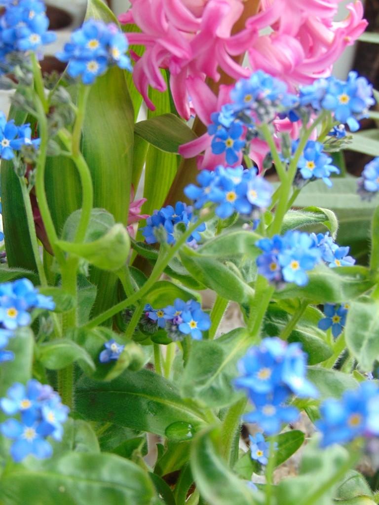 """Pozostałe, Moje kwietniowe fotki............... - .................""""niezapominajki , są to kwiatki z bajki""""..............."""