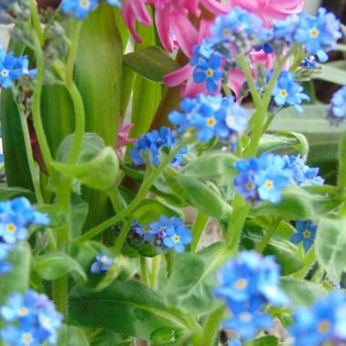 """.................""""niezapominajki , są to kwiatki z bajki""""..............."""