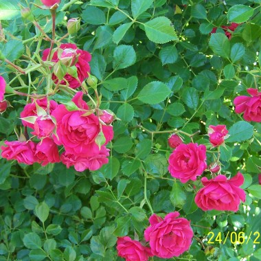 Lato tak szybko mija a ja nie pokazałam jeszcze moich pięknych juk ogrodowych, niestety przekwitły.