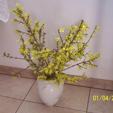 Wreszcie zawitała wiosenna przepiękna pogoda. Wszystko rośnie w oczach. Moja magnolia już w pełnym rozkwicie. Forsycja też  rozkwitła a ja mam jeszcze w domku  gwiazde betlejemską - jak ją wyrzucić, że inne święta? W ogródku biało niebiesko, krokusy przekwitły.
