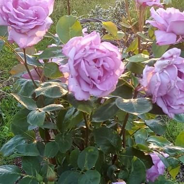 """""""Spieszmy się kochać ludzi bo tak szybko odchodzą."""" Ulubine kwiaty  mojej mamy róże , których już nie zobaczywłaśnie wczoraj odeszła. Kochałam ją bardzo i kocham .:( :(:("""