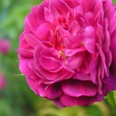 .................i róża..............