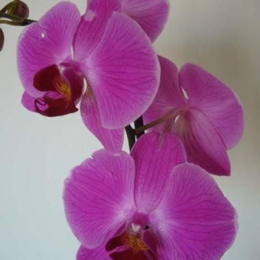 Orchidea....