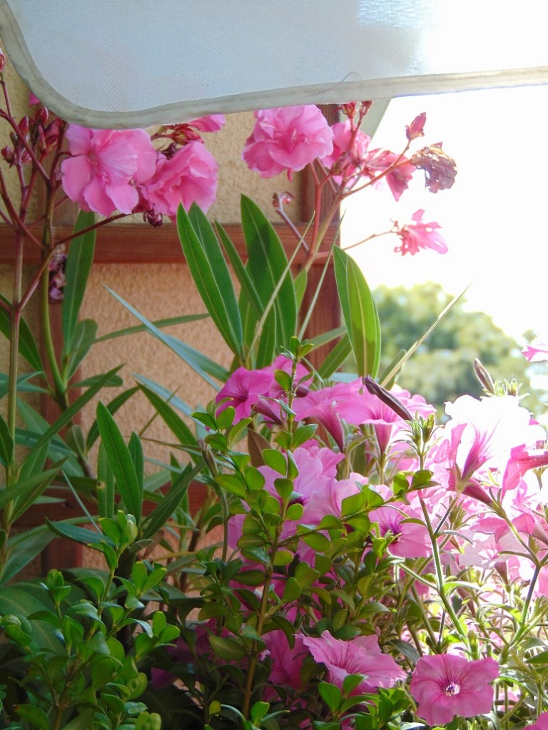Balkon, Lato na moim balkonie ................. - ................i różowo...............