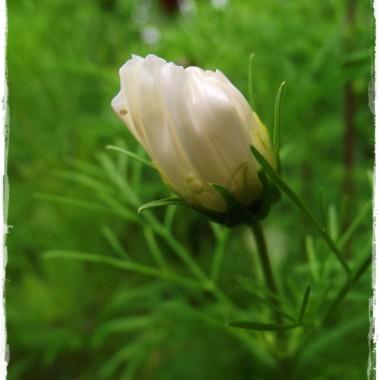 Kwiecie ogrodowe w makro fotkach &#x3B;