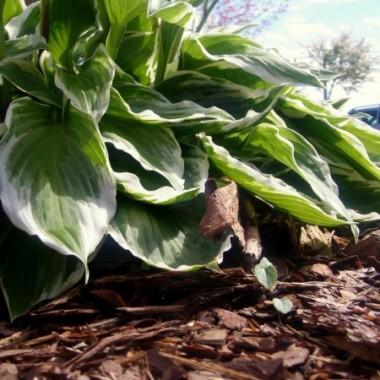 funkia - jedna z pierwszych roślinek w moim ogródku