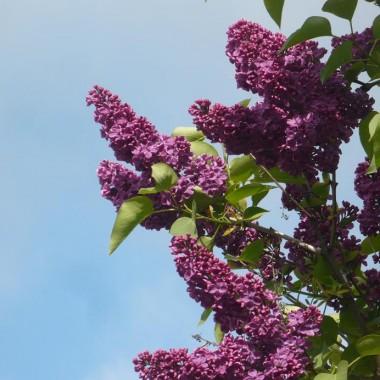 ...........i kwitnące bzy w ogrodzie...........