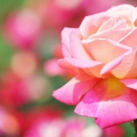 Pięlęgnacja róż bez tajemnic
