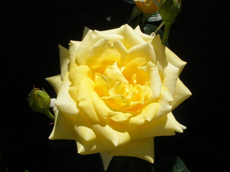 Pozostałe, róże z mojego ogrodu