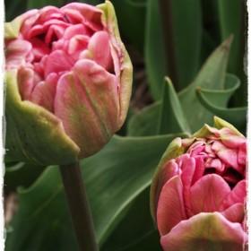 Zapraszam  do świata tulipanów &#x3B;
