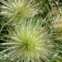 Pozostałe, Wiosna - kolejna odsłona... - Przekwitłe kwiatostany sasanek:) -uwielbiam je...