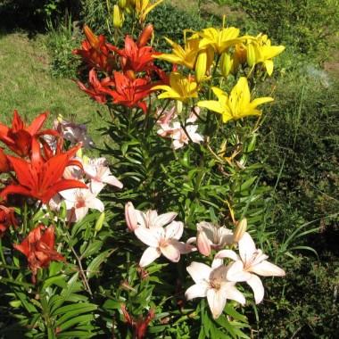 Moje  lilie i liliowce
