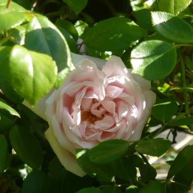 ................i róża pnąca................