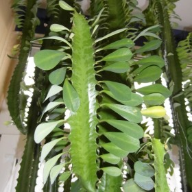 Wilczomlecz trójżebrowy (euphorbia trigona) - sukulent