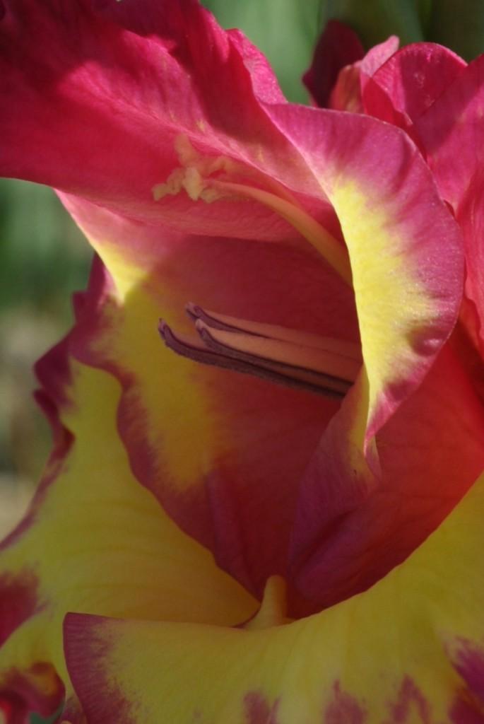 Rośliny, mieczyki-kolorowy  zawrot  glowy