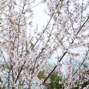 Drzewo migdałowe kwitnące -maj