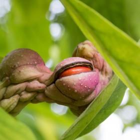 Jak rozmnażać magnolię?