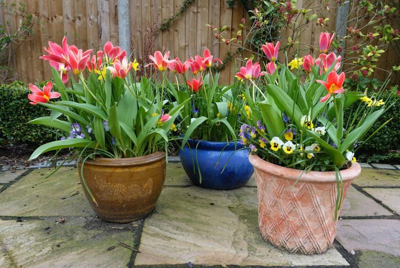 Tulipany w donicy