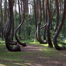 Krzywy Las w Nowym Czarnowie