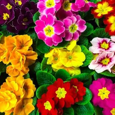 PierwiosnekDostępnych jest wiele gatunków pierwiosnków, różniących się od siebie kolorem kwiatów i pokrojem. Mimo że są roślinami wieloletnimi, często traktujemy je jako jednoroczne. Prymulki wymagają stale wilgotnej (ale nie mokrej), przepuszczalnej, żyznej gleby oraz umiarkowanie słonecznego stanowiska.