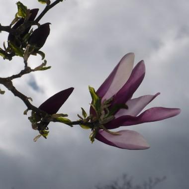 ..............i magnolia różowa .............