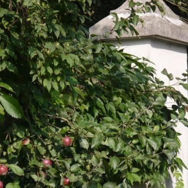 ....................i jabłoń...................